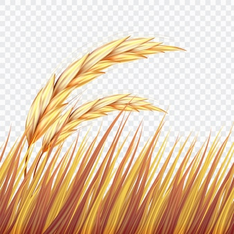 Golden wheat field or rice on isolated background
