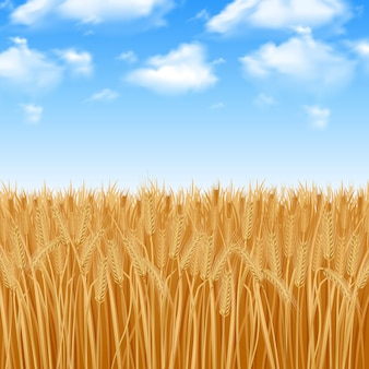 Golden yellow wheat field and summer sky background