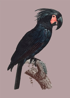 Goliath cockatoo