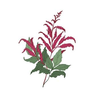 화려한 astilbe 또는 거짓 염소의 수염 피는 꽃과 잎 손으로 그린 흰색 절연