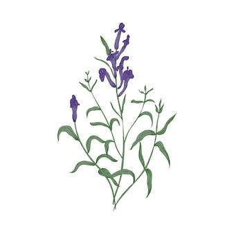 ゴージャスなバイカルスカルキャップの花と葉は白で隔離の手描き