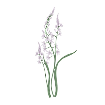 Gorgeous camas or quamash flowers isolated on white background.