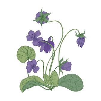 白い背景で隔離のゴージャスなウッドバイオレットの花。漢方薬で使用される野生の草本顕花多年生植物の自然な描画。