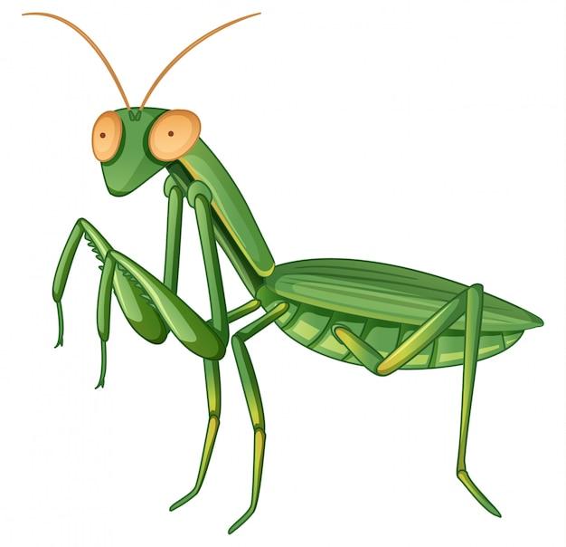 Mantis gpraying su bianco