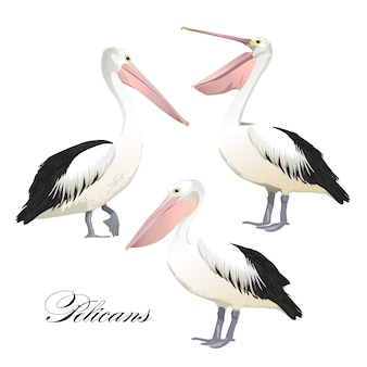 Graceful pelicans set.