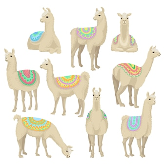 Graceful white llama set, alpaca animal in ornamented poncho posing in different situations  illustrations on a white background