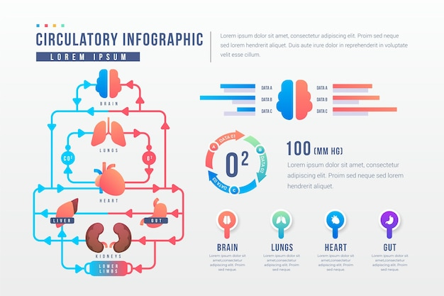 Gradient circulatory system infographic template