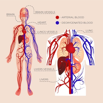 Gradient circulatory system infographic