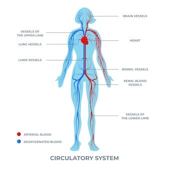 Gradiente infografica sistema circolatorio