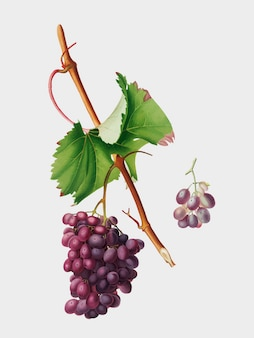 Grape barbarossa from pomona italiana illustration