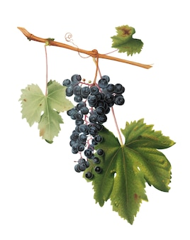 Виноградный колорино из иллюстрации pomona italiana Бесплатные векторы