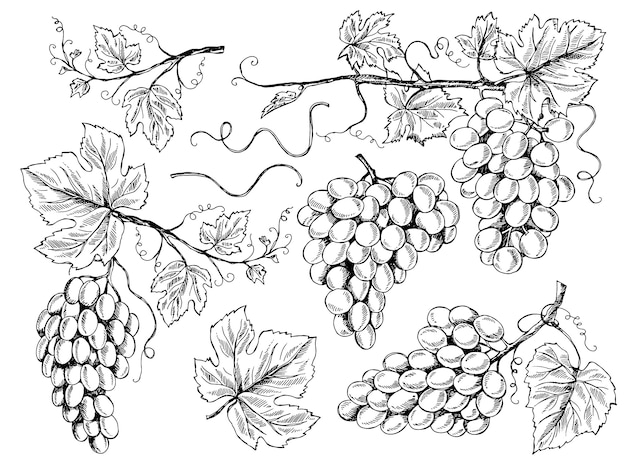 ブドウのスケッチ。花の写真ワイン用ブドウの葉と蔓のブドウ畑の彫刻手描きイラスト