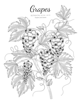 Grapes fruit botanical hand drawn illustration.