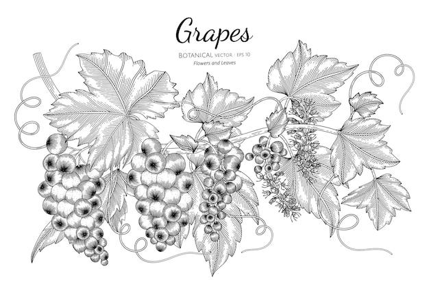 Фрукты винограда в рисованной ботанической иллюстрации