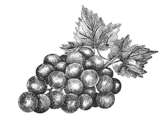 Виноград, ручной рисунок, эскиз