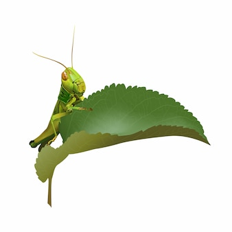 Grasshopper eating plant isolated on white background