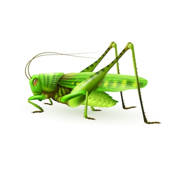 Grasshopper realistic isolated