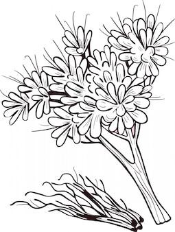 Корень гравия векторные иллюстрации, изолированные на белом. eutrochium purpureum, пурпурный сорняк джо-пай