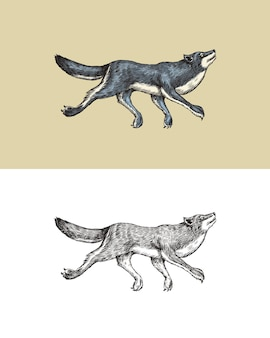 Gray wolf a predatory beast wild forest animal jumping vector engraved hand drawn vintage old