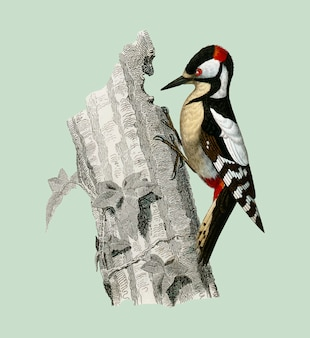 Great spotted woodpecker (picus major) illustrated by charles dessalines d'orbigny (1806-1876).