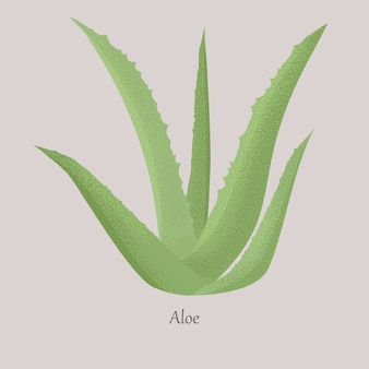 Green aloe vera is a succulent botanical herbaceous plant.