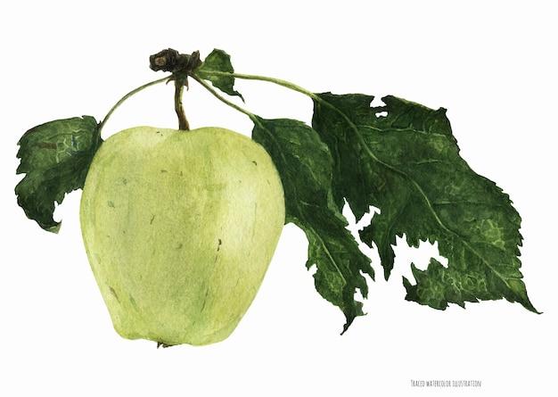 葉と緑のリンゴの果実、植物の現実的なトレースwatrecolor
