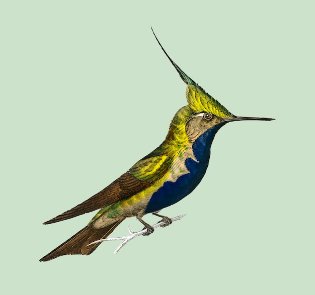 Green-crowned plovercrest (oiseau-mouche delalande)