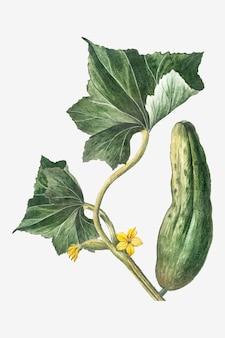 Green cucumber plant vector