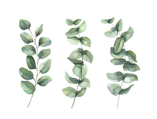 Green eucalyptus leaf branches collection.