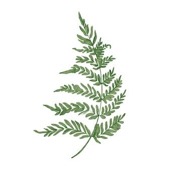 Зеленый папоротник рисованной