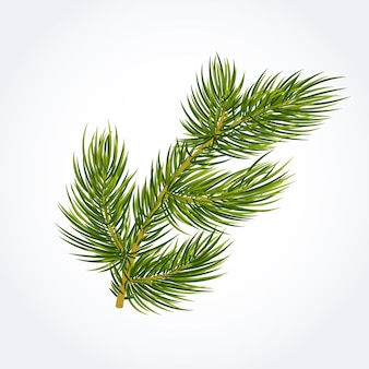 Green fir tree twig