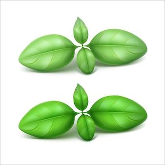Green fresh basil leaves close up  on white background