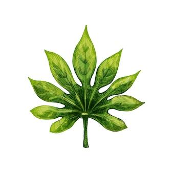 Зеленый свежий лист fatsia japonica. винтаж вектор штриховки