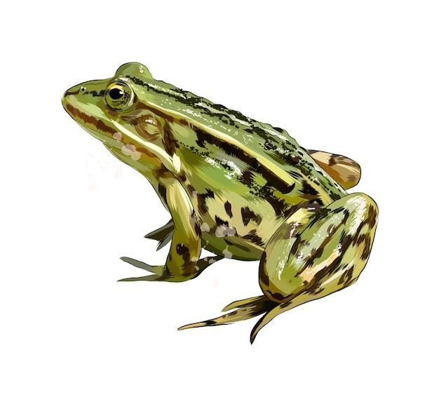 Зеленая лягушка из всплеска акварели, цветной рисунок, реалистка