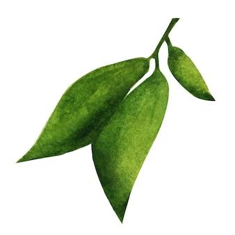 緑色の葉。装飾用の水彩要素。