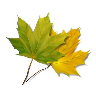Зеленый кленовый лист на белом фоне.