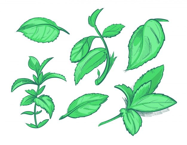 Green mint leaves, menthol, aroma peppermint hand drawn