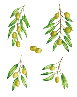 Green olives on a branch set isolated watercolor illustration