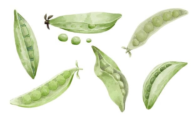 녹색 완두콩과 완두콩 꼬투리 수채화 물감.