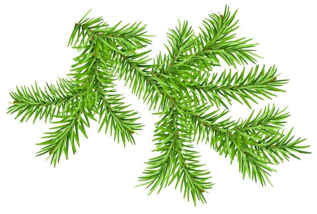 Зеленая ветка сосны, изолированные на белом.