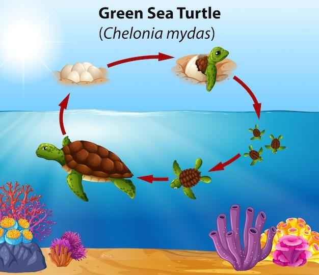 Жизненный цикл зеленой морской черепахи