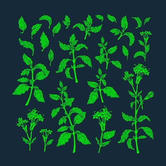 Green set. texture melissa plant, mint leaf, stevia flower in bloom. health food. fresh herb tea, aroma drink. organic vintage graphic illustration.