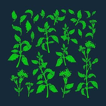 녹색 세트. 텍스처 멜리사 식물, 민트 잎, 꽃에서 스테비아 꽃. 건강 식품. 신선한 허브 티, 아로마 음료. 유기농 빈티지 그래픽 일러스트입니다.