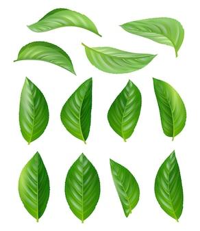 녹차 잎. 에코 천연 식물 향기로운 뜨거운 음료는 현실적인 그림 세트를 남깁니다.