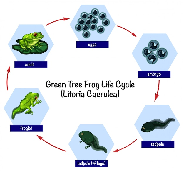 Green tree frog life cycle