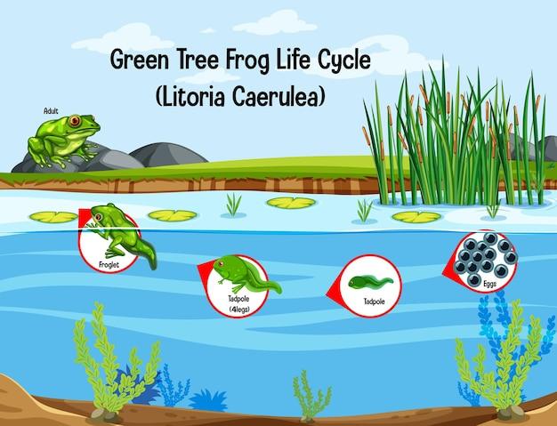 Ciclo di vita della rana di albero verde