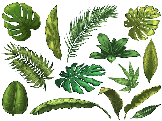 緑の熱帯の葉。手描きの熱帯雨林の自然の葉、カラースケッチモンステラの葉のイラストセット。