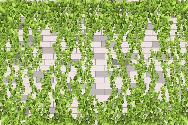 녹색 포도 나무, 덩굴 식물 또는 담쟁이가 위에서 매달려 있거나 벽을 등반합니다.