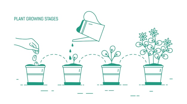 Growing phases of potted plant