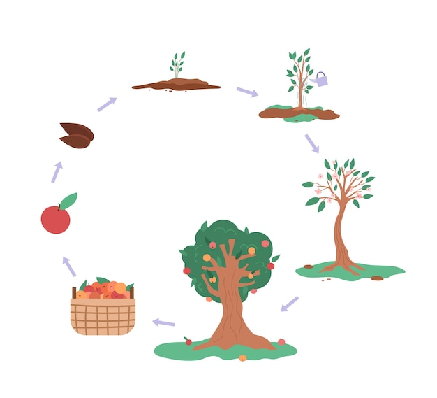 分離されたリンゴの木のインフォグラフィックフラットベクトル図の成長サイクル